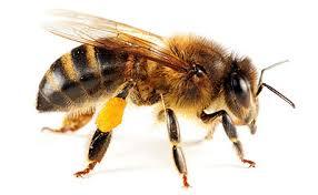 The Wonderful Honey Bee